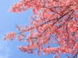 Chiang Mai Cherry Blossom Viewing